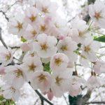 桜コラボ予告(フライングではないw)