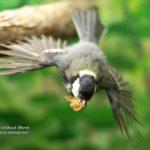 鳥撮りノートリ