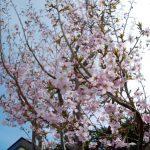 ようやく桜が撮れました-プチコラボ