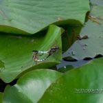 スイレン池の生き物たち