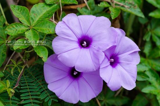 『紫の花』 K-5IIs DFA100mmF2.8WR Macro [ F4 1/350 ISO140]