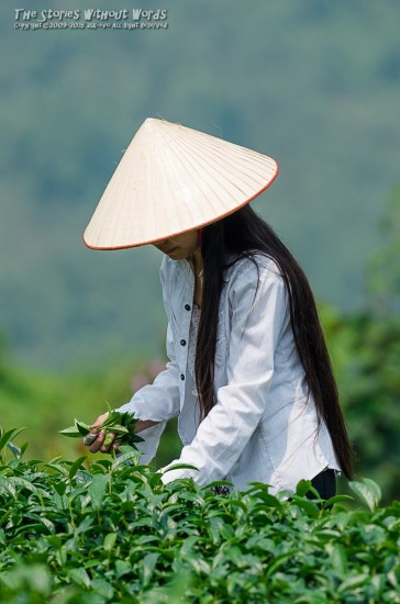 『茶摘み』 K-5IIs DA*300mmF4 [ F5.6 1/1000 ISO160]