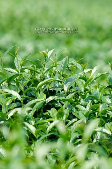 『緑の海』 K-5IIs DA*300mmF4 [ F5.6 1/750 ISO400]
