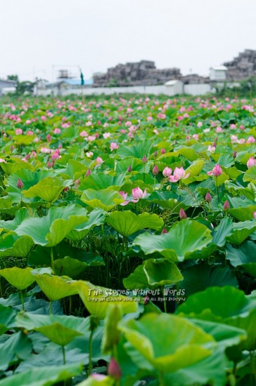 『Lotus Field』 K-5IIs FA77mmF1.8 [ F2.8 1/2000 ISO160]