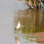 Vườn Quốc gia Xuân Thuỷ – 他の鳥達