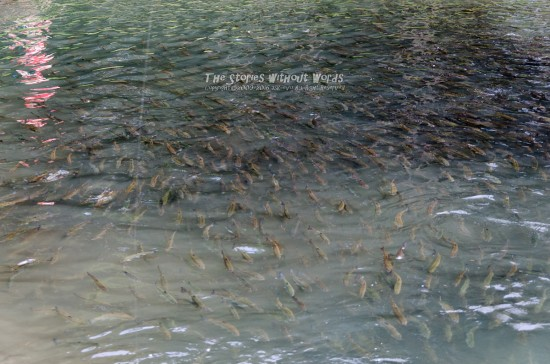 『山女魚』 K-5IIs [50 mm 1-180 秒 (f - 4.0) ISO 200]
